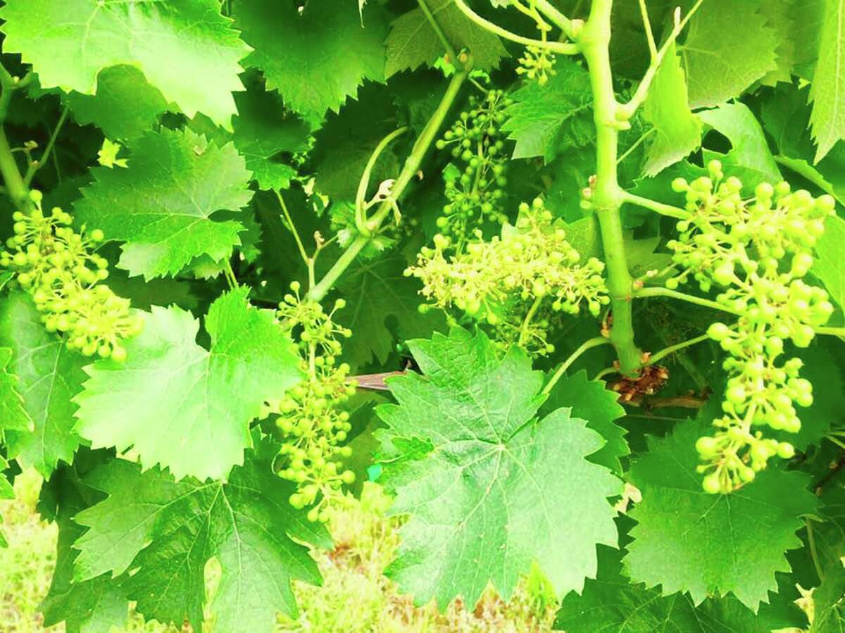 Grapes Vines north of the Gulf Coast are blooming with small white bunches of flowers which evolve into hard berries which plump up into grapes to make wine.
