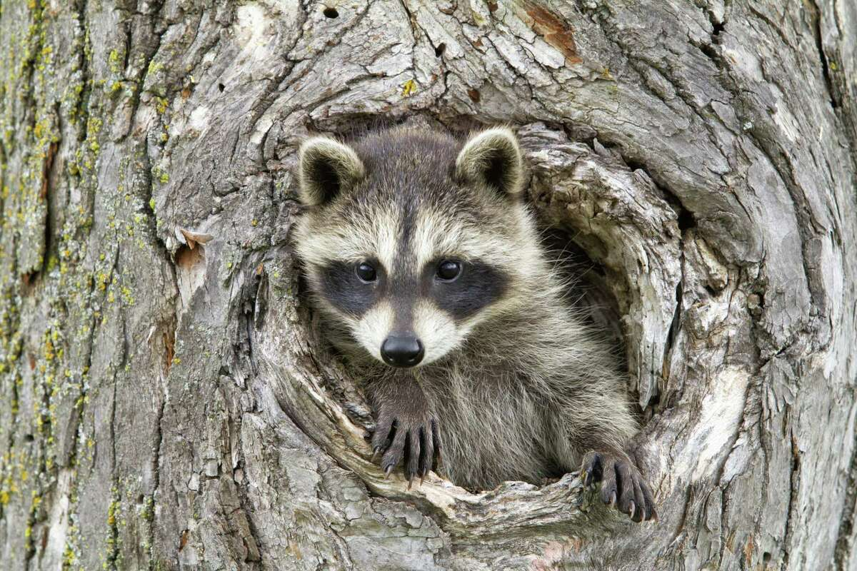 Dogs will chase squirrels and voles and rabbits but gets very aggressive with raccoons.