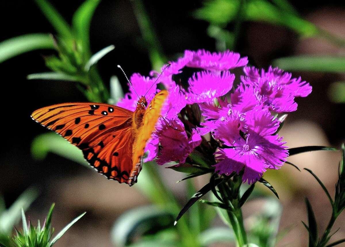 A Gulf Fritillary Butterfly feasts on Rockin Purple dianthus in Savannah.