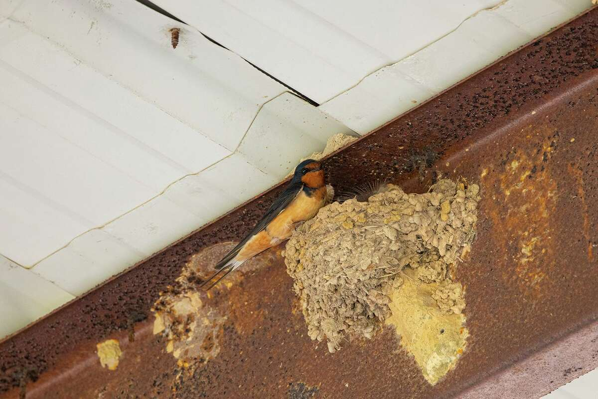 A barn swallow feeds chicks in a nest beneath the carport next to the Katy Prairie Conservancy's headquarters at the Indian Grass Preserve. Visitors to the preserve can see a wide variety of birds, insects, and plants. Photo Credit: Kathy Adams Clark. Restricted use.