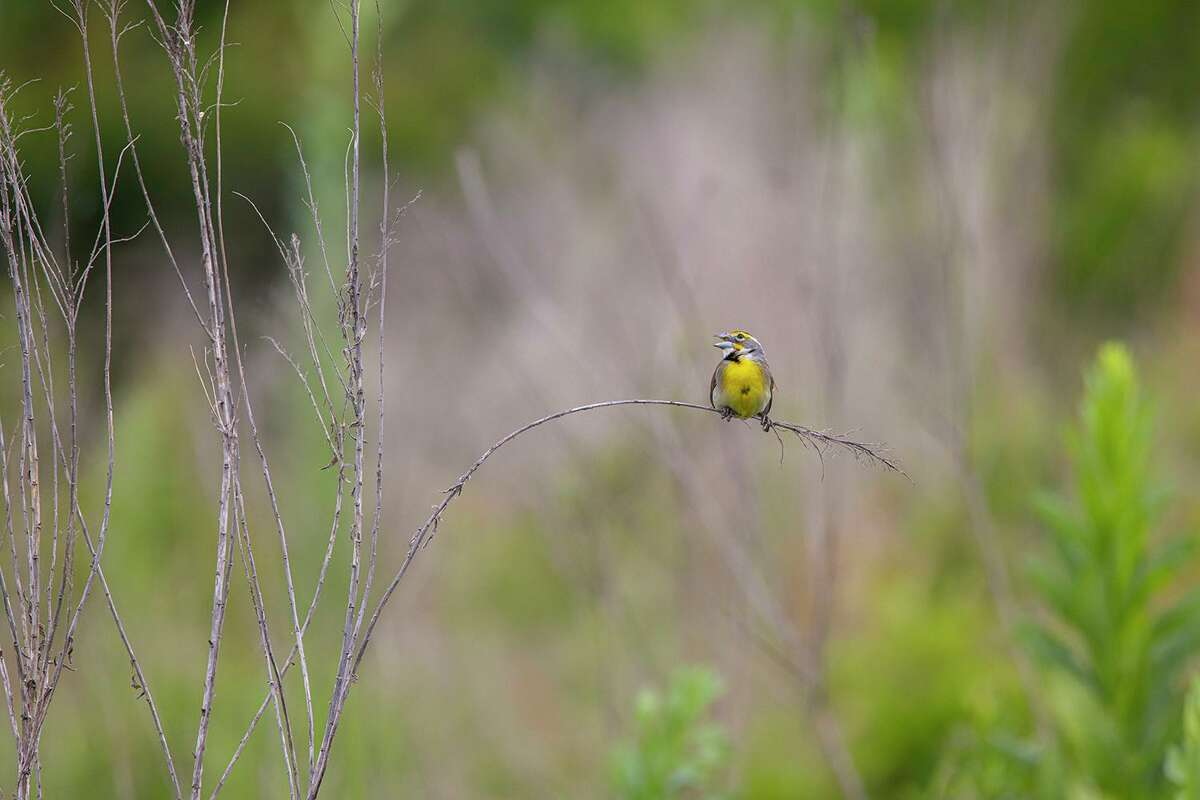 A dickcissel sings from a grass stem on the Katy Prairie Conservancy's Indian Grass Preserve.