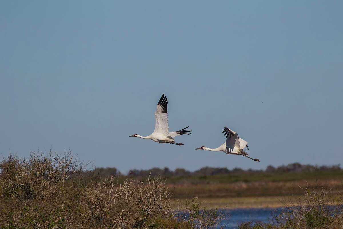 The whooping crane population at Aransas Refuge reached 506 birds this past winter. News of a second population that might be nesting is good news. Photo Credit: Kathy Adams Clark. Restricted use.