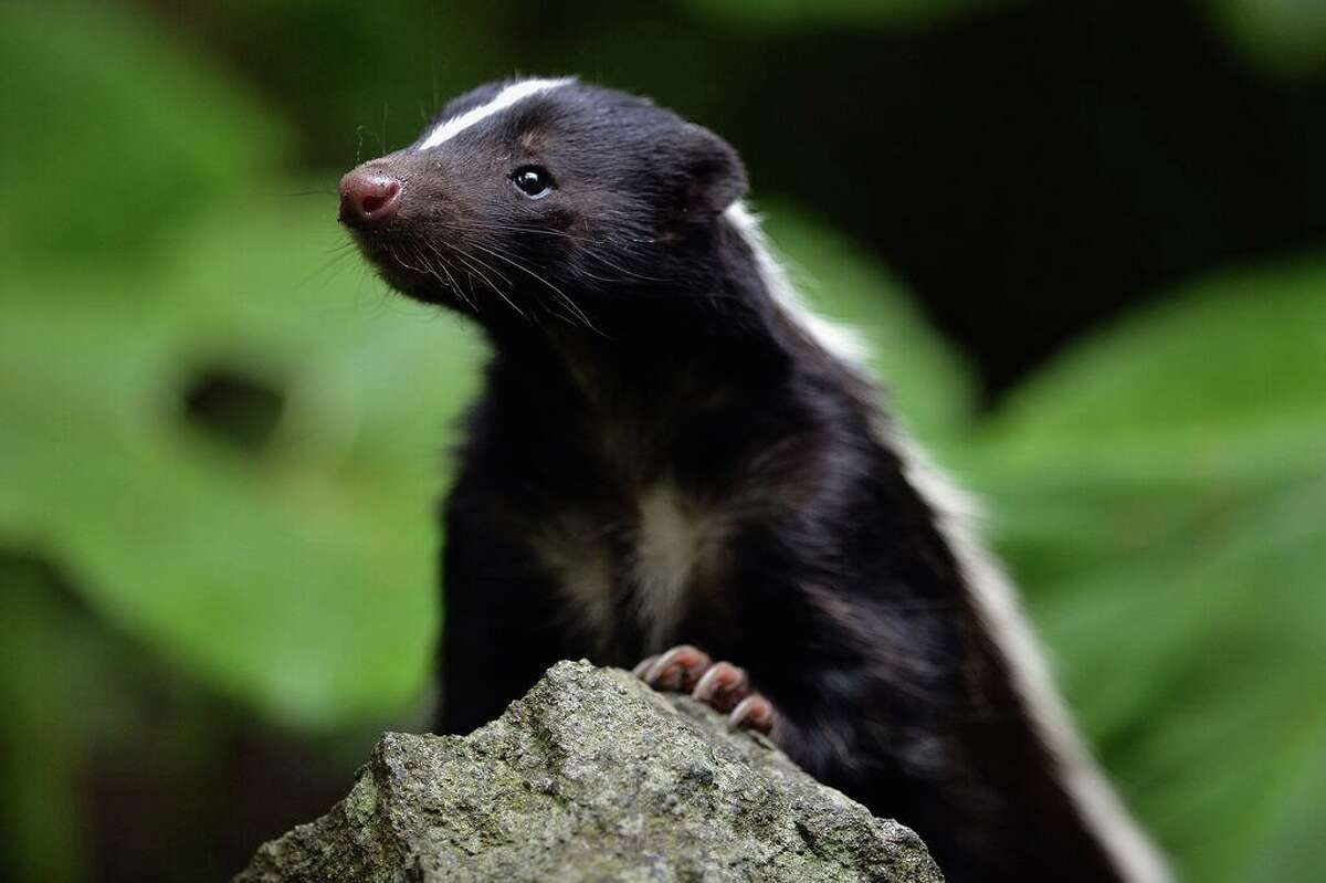 File photo of a skunk during mating season. A Guilford woman said she was attacked by a skunk in her yard this week.