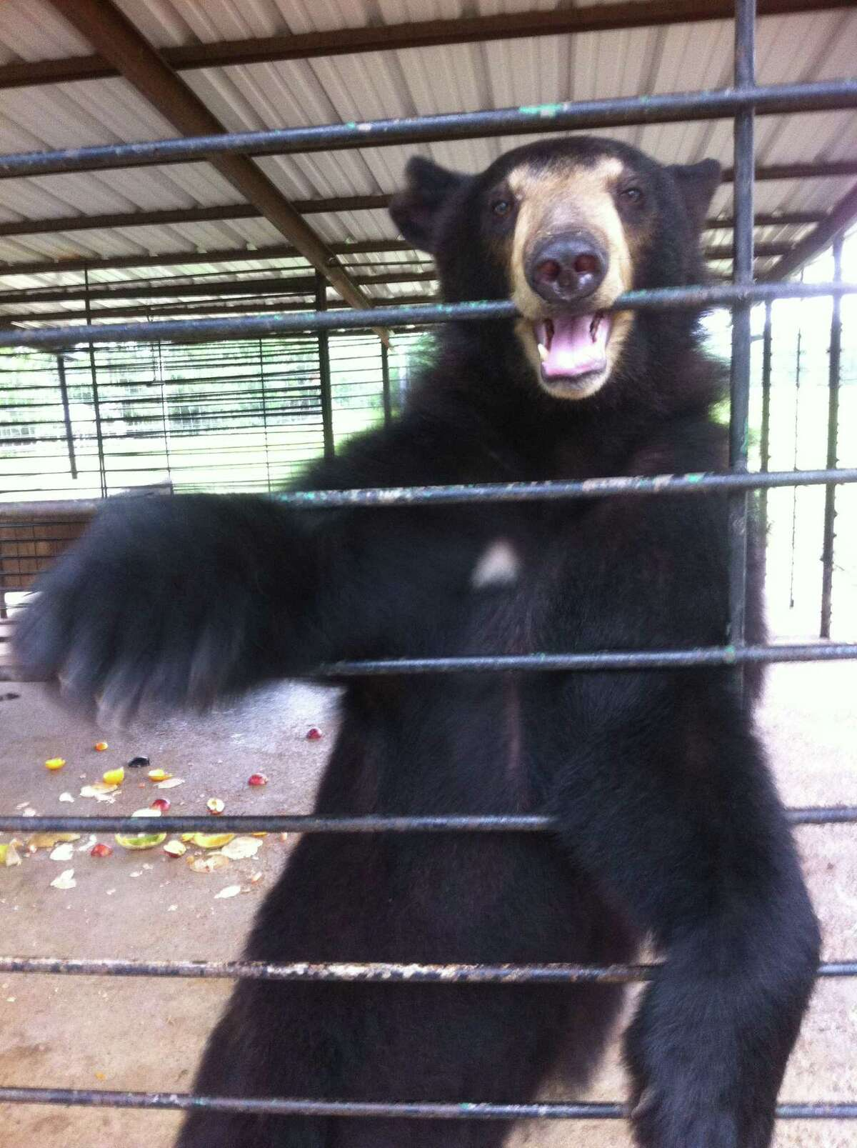 The mission of Bears, ETC is to establish a Bear and Exotic Animal Rescue Sanctuary in Montgomery County, connecting people with nature through education and awareness. Upcoming is a Bear Crawl fundraiser on May 29 and May 30 in Conroe and Montgomery. Kati Krouse of Bears Etc. is pictured caring for bears.