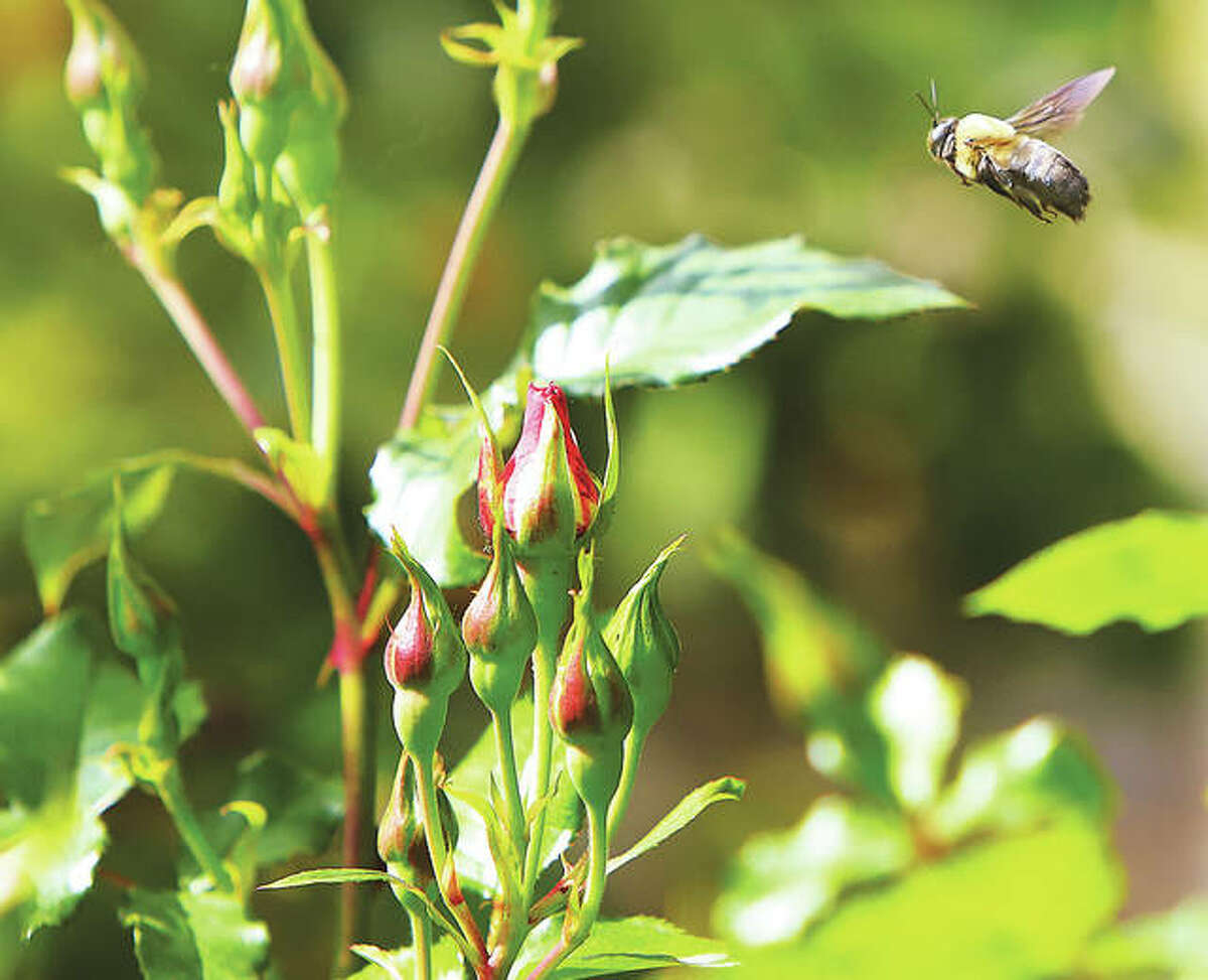 A bumblebee patrols the rose buds in Alton's Gordon Moore Park rose garden Thursday, which was World Bee Day.