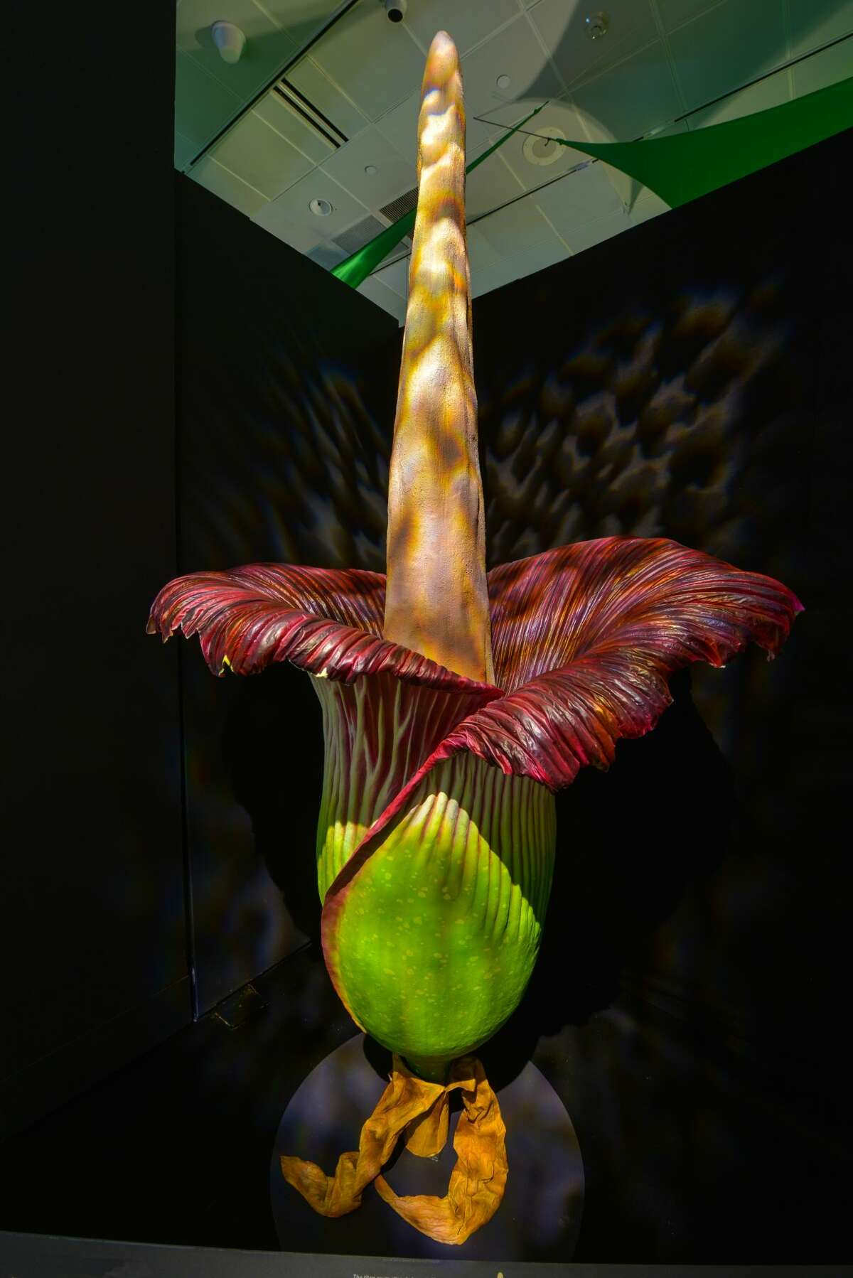 Here's your chance to smell the Titan Arum plant or