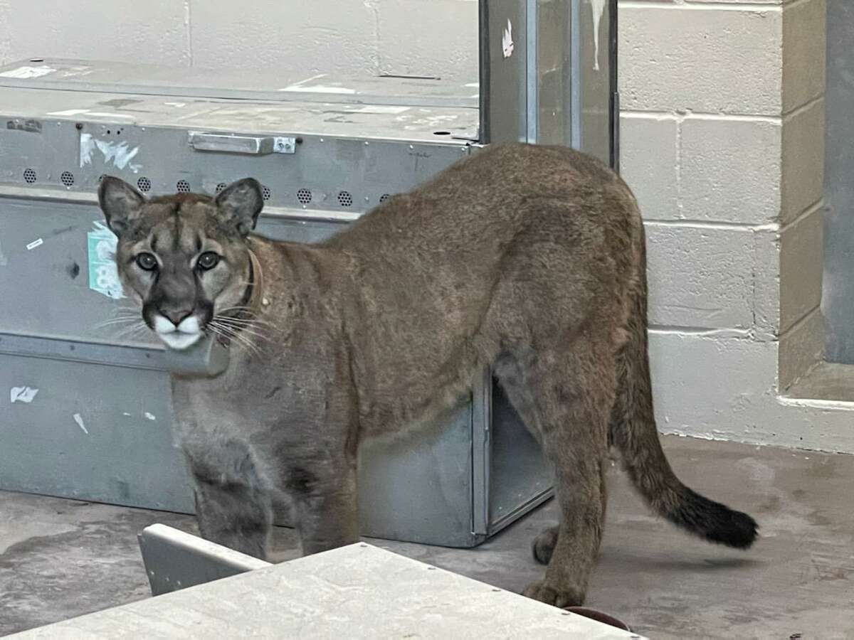 San Francisco animal control officials captured a mountain lion Wednesday night believed to be the same one previously spotted roaming the streets in the city's Bernal Heights neighborhood.