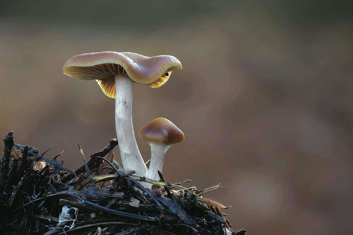 Psilocybe cyanescens is a species of psychedelic mushroom that would be decriminalized under legislation passed by a key state Senate committee on Thursday. The bill is sponsored by Sen. Scott Wiener, D-San Francisco.