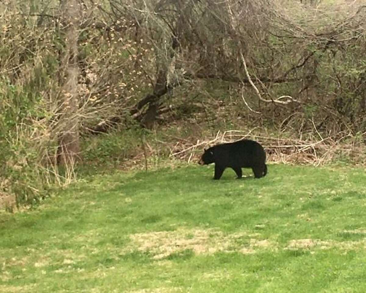 A file photo of a bear seen in Hamden, Conn., in April 2021. In Trumbull on Friday, May 21, 2021, several residents reported a bear trying to get into garbage and bird feeders.
