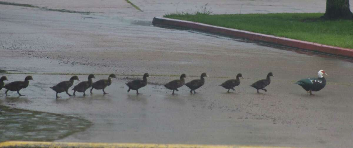 A mother duck guides her chicks, or is it her starting lineup, across the Chester Davis Sportsplex roadway during another Sunday rain shower.