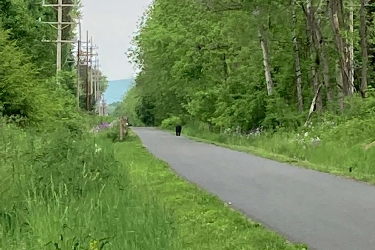 Erin Rightmyer of Bethlehem took this photo after she made a turn to run on the Albany County Rail Trail near the back of Hannaford Plaza and saw this bear around 7:30 a.m. on May 22, 2021. It's at least the fourth time a bear had been seen in Bethlehem and Albany since May 18.