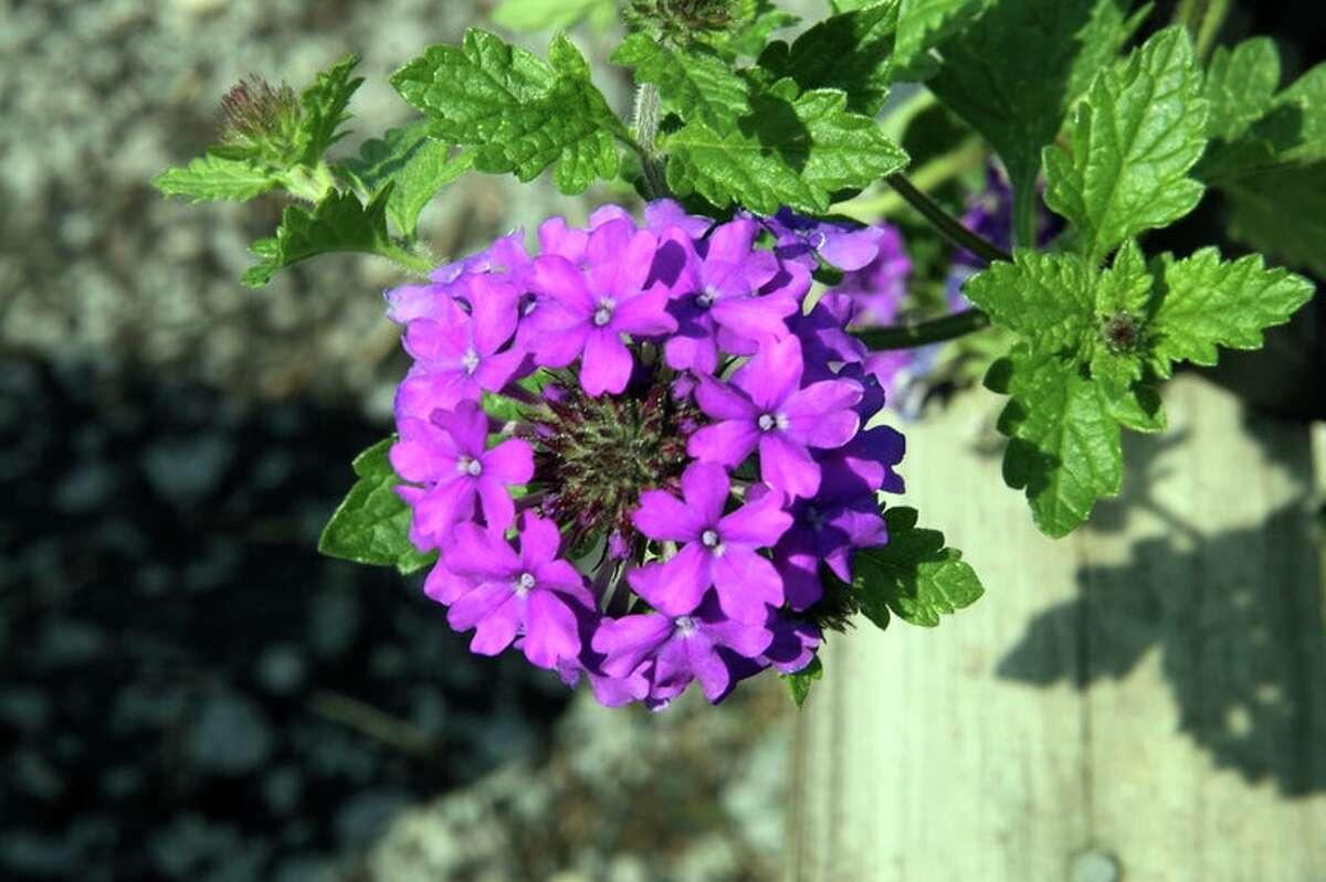 Homestead Purple Verbena Plant, Starting at $9.95