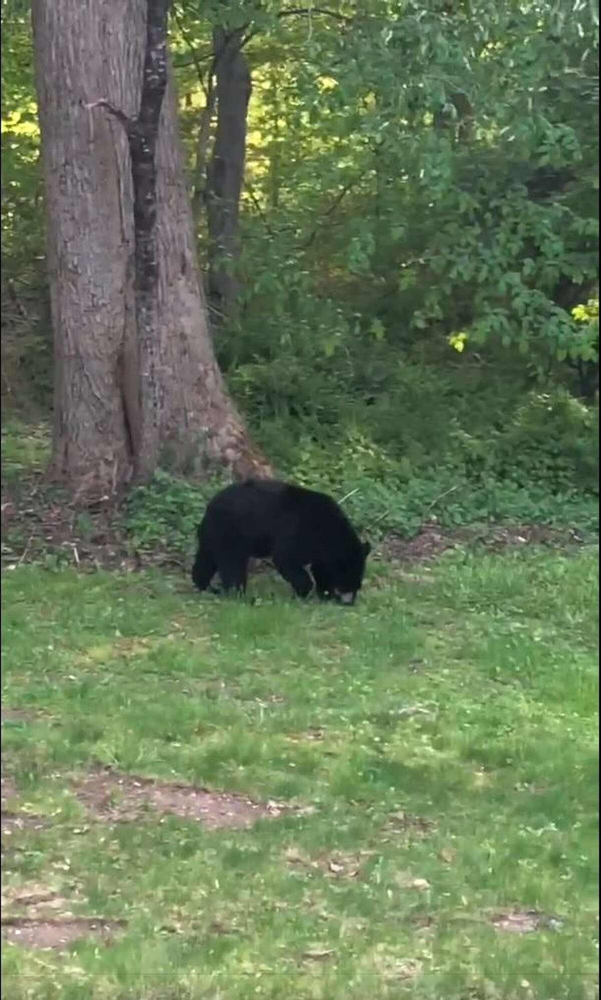 NEW MILFORD - Resident Stanlin Genao captured this black bear on video Friday, May 21, 2021 as it made its way through his yard on Mount Tom Road