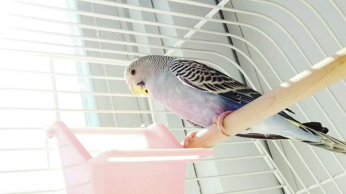 Budgies (parakeets) make less mess because of their size. They can live 10 to 15 years.