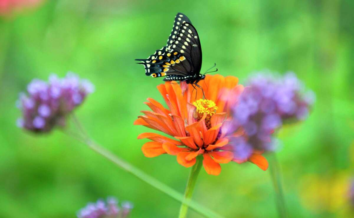A black swallowtail butterfly perches on a zinnia.