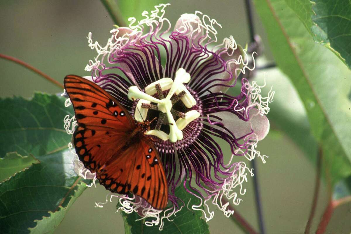 Gulf fritillary butterfly caterpillars feed only on passion vine species and varieties, and not on every one of them either.