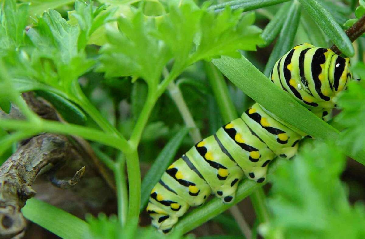 Sacrifice a parsley plant or two to the caterpillars that will become black swallowtail butterflies.