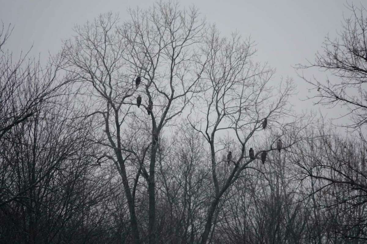 A tree on the Cass River is filled with a flock of bald eagles during the wintertime.Two mature eagles are on the left, and the remainder of the flock to theright are immature bald eagles, which lack the noticeable white heads. Thisis quite possibly a family picture! (Photo by Deb Severance)