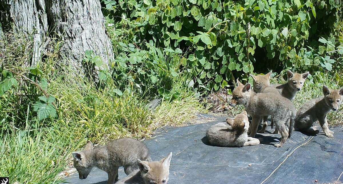 A litter of coyotes captured by a wildflife camera within the fenced-in confines of the San Francisco Botanical Garden