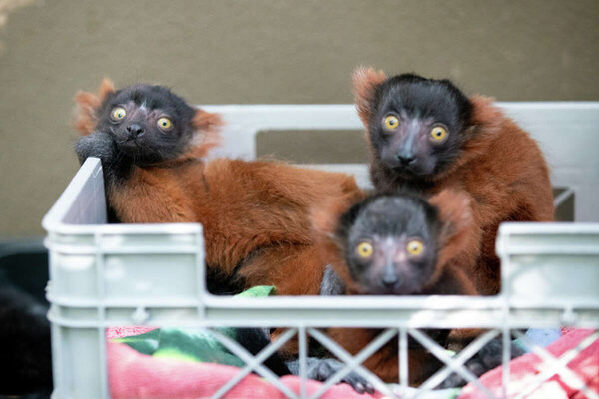 Newborn lemurs at Woodland Park Zoo.