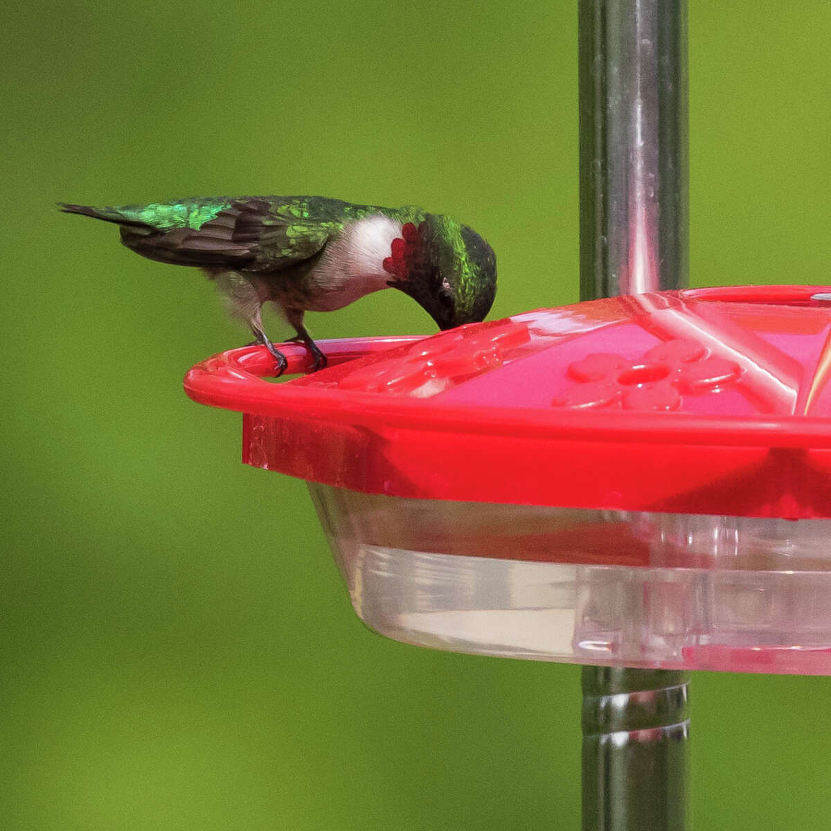 Local photographer Tom Voss captured photos of birds, like the ruby-throated humming bird, in his backyard recently.