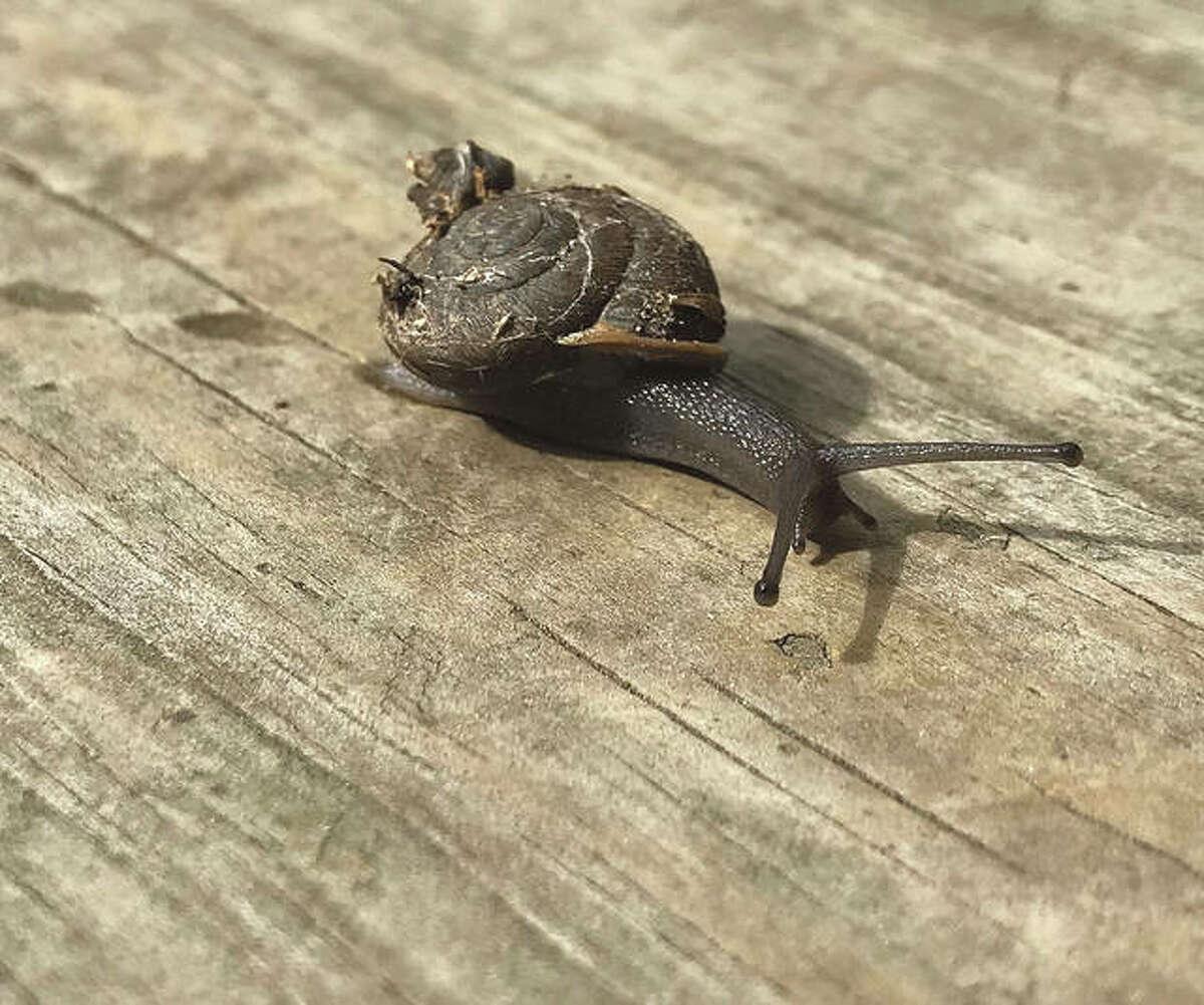 A wayward snail makes its way across a backyard deck.