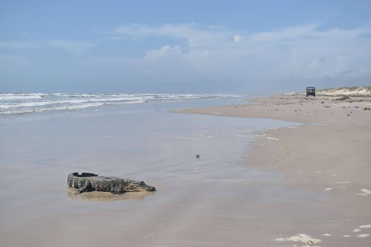 On Monday, PINS said a young American alligator from Lousiana ended up on its beach shores, near Malaquite Beach. In a Facebook post, PINS officials wrote tags on the reptile's feet showed it came from another state.