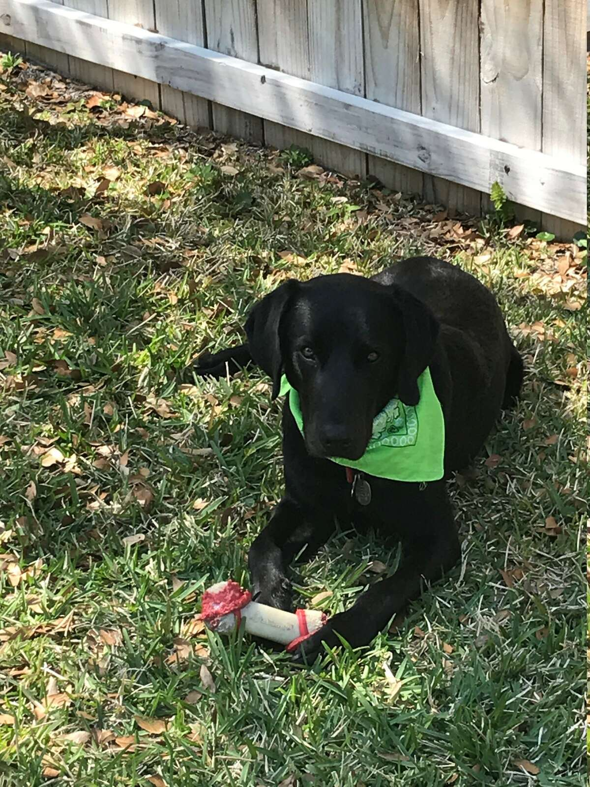 From Linda and Jeff Anderson of Saratoga Springs: This is Fender Jackson Anderson. We adopted him in November 2019 from a shelter in Jackson, Miss. We thought he was two years old but turns out he was an 8-9 month puppy. He has a stump of a tail. Dog DNA shows he is Black Lab and American Foxhound. With the bark of a bloodhound. He is now a very active 2+ old. We spent COVID-19 winter in Florida and he loved laying on the lawn and he always has a toy with him. He spends a lot of time on his back looking for belly rubs.