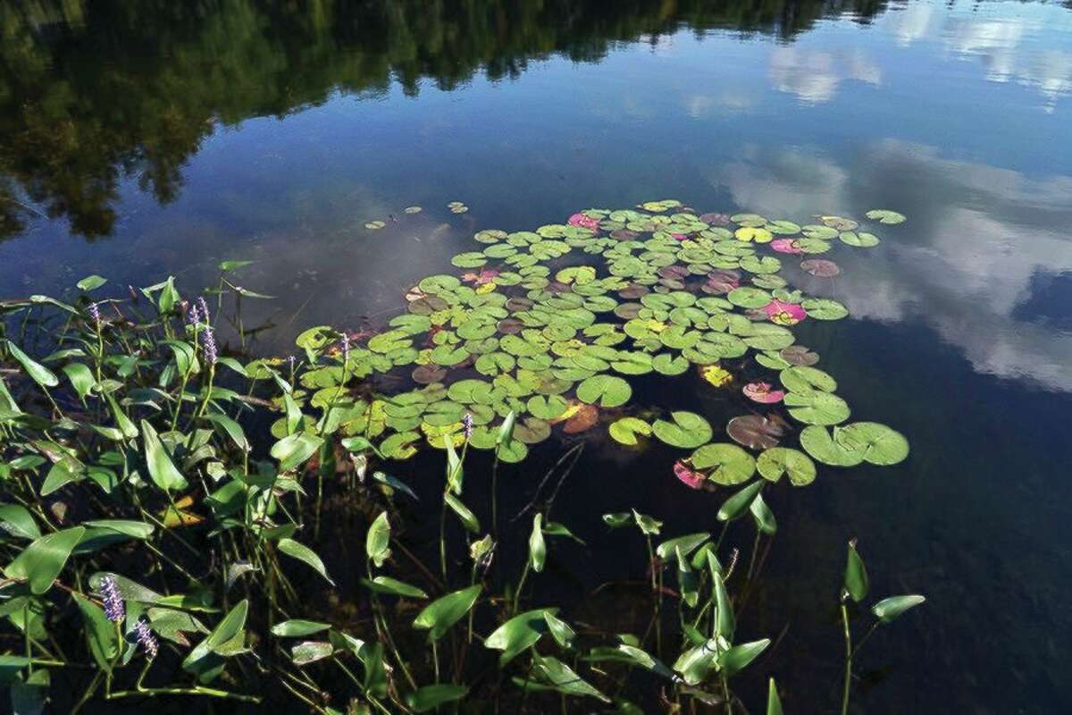 White waterlily and pickerel weed are excellent plants for your lake garden. (Courtesy Photo/Mark Bugnaski Photography)