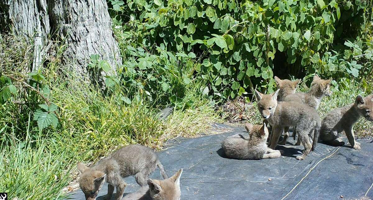 A litter of seven coyote pups seen in Golden Gate Park, San Francisco, May 2021.
