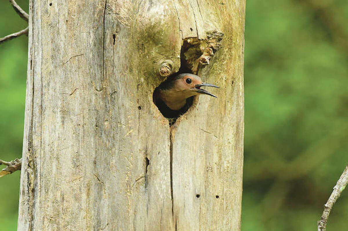 A bird pokes its head out of a new house it built inside a tree.