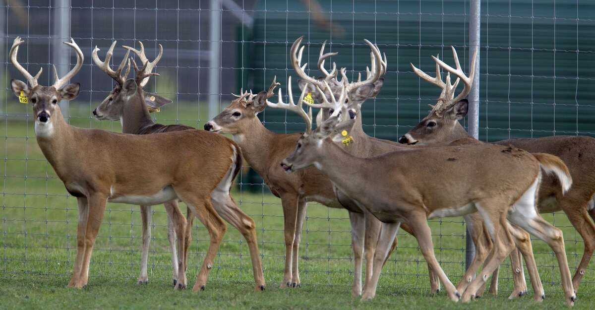 Chronic wasting disease was recently detected at deer breeding facilities in Hunt, Uvalde, Mason and Matagorda Counties. (Photo by James Nielsen / Chronicle)
