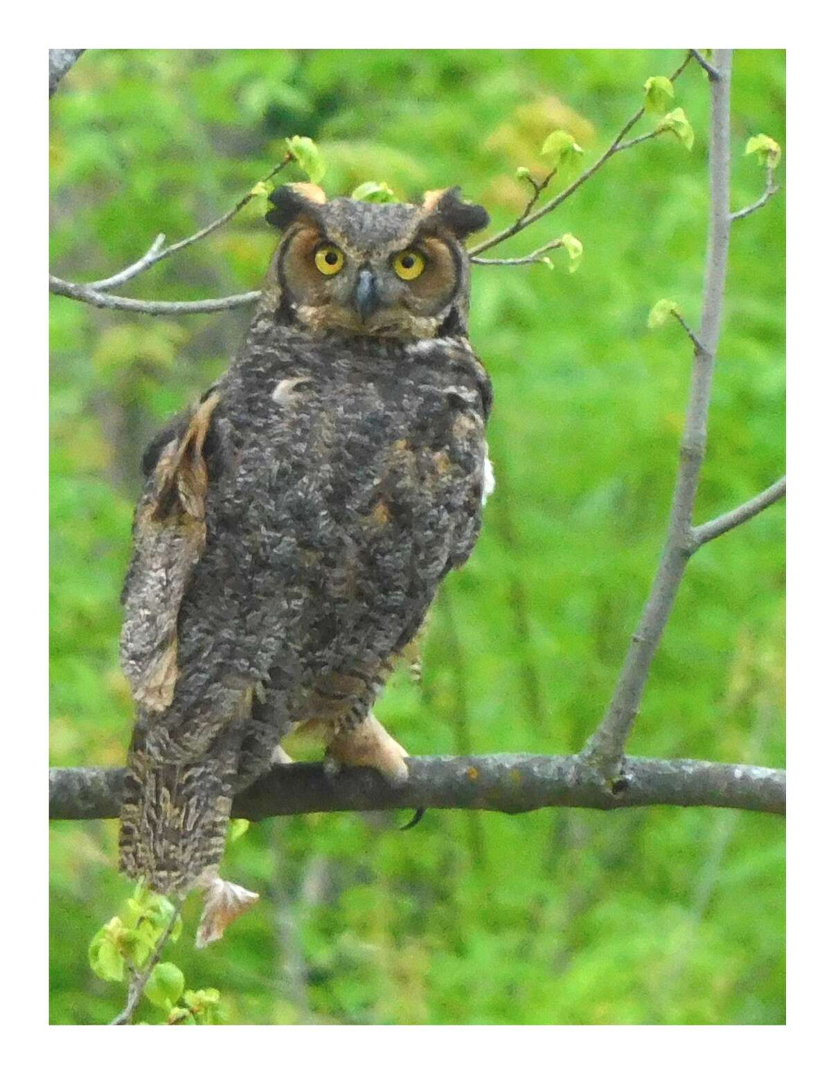 The great horned owl after it was released back into the wild.