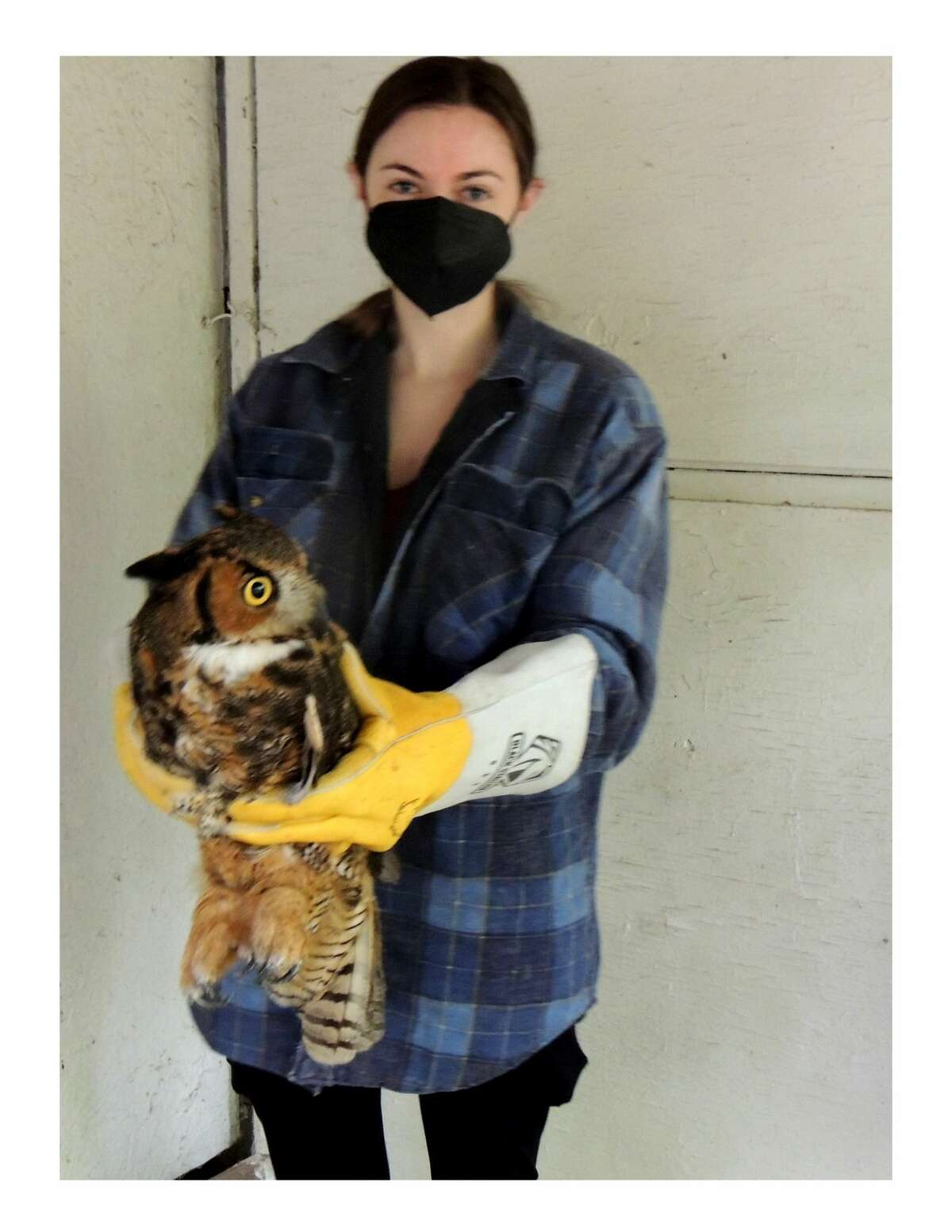 Wildlife Recovery Association intern Teresa Knapp practices how to hold the great horned owl at the association's facility in Shepherd, before it is released back into the wild.