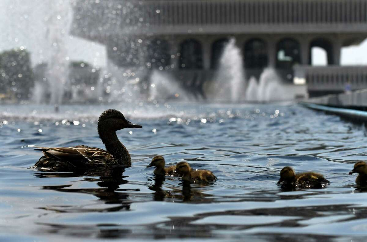 A new hatch of ducklings is shepherded across choppy waters on the Empire State Plaza reflecting pool on Wednesday, May 26, 2021, in Albany, N.Y. (Will Waldron/Times Union)