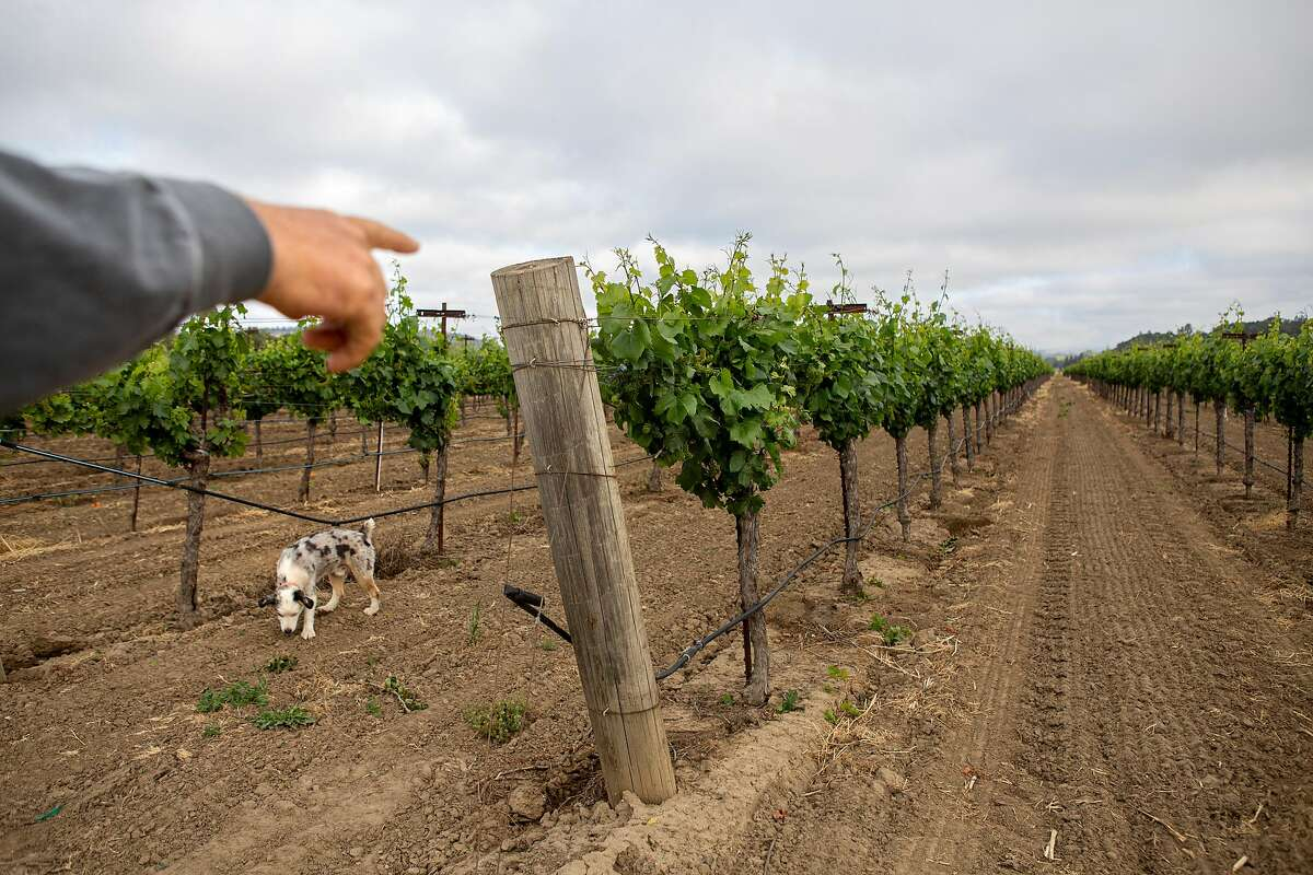 Bret Munselle, vineyard owner and manager of the Munselle Vineyards, checks on the Chardonnay vines on the Wasson home ranch in Geyserville earlier this month. His water is drawn from the Russian River, where holders of junior water rights have been ordered by the state to stop drawing from the watersheds riveras and creeks.