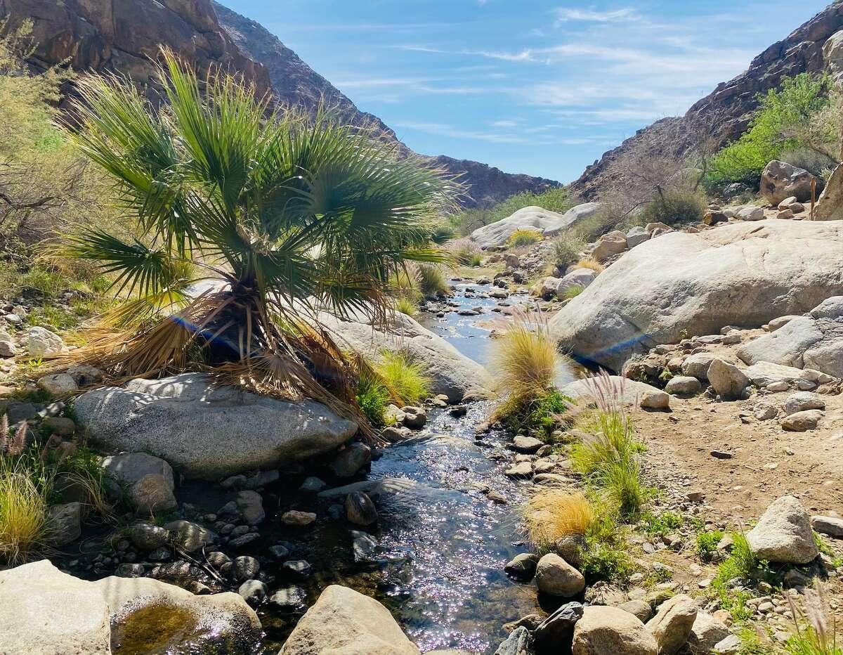 A fan palm extends over a stream through Palm Canyon's desert oasis in Anza-Borrego Desert State Park.