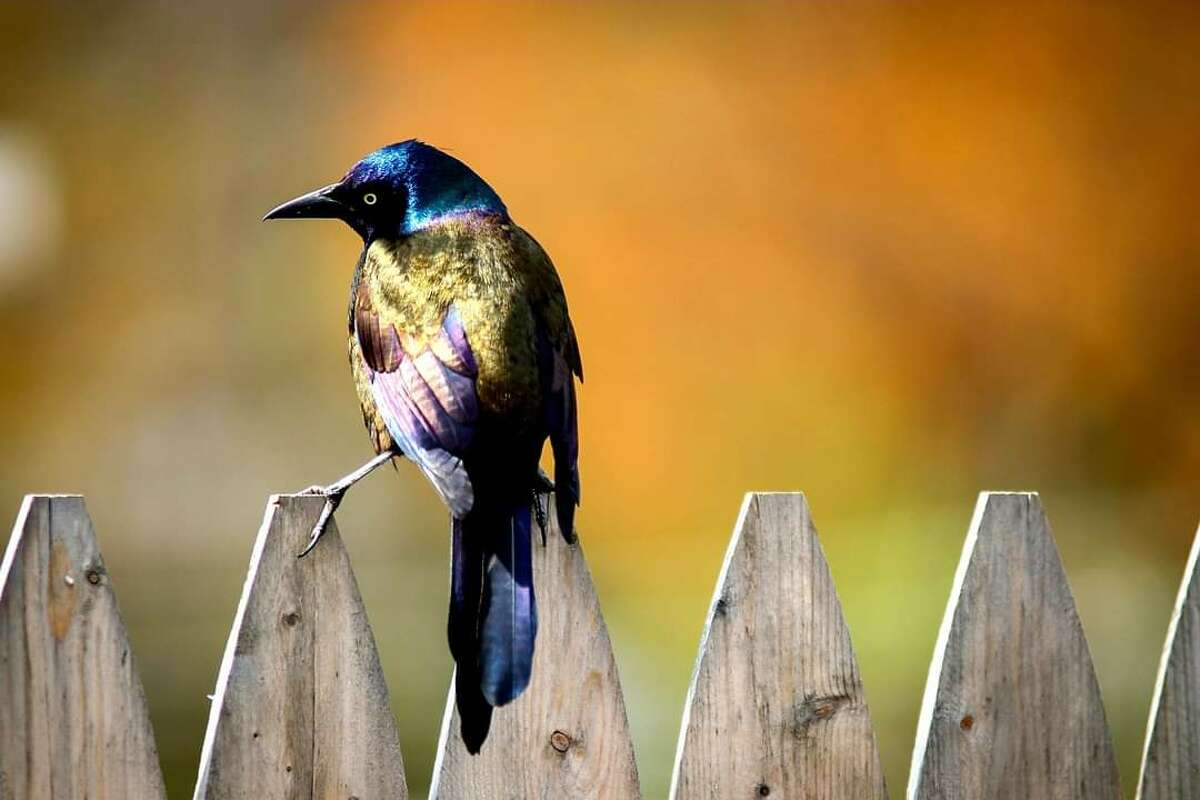 From Joe Figler: A grackle shines in the sunlight.