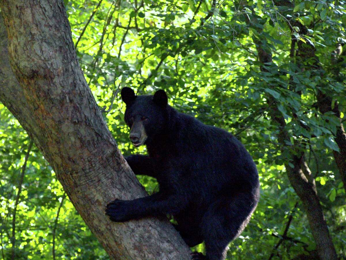 A file photo of a black bear in a tree in Trumbull, Conn., taken in 2011. Police said there have been several bear sightings in town lately and urged residents to take precautions.