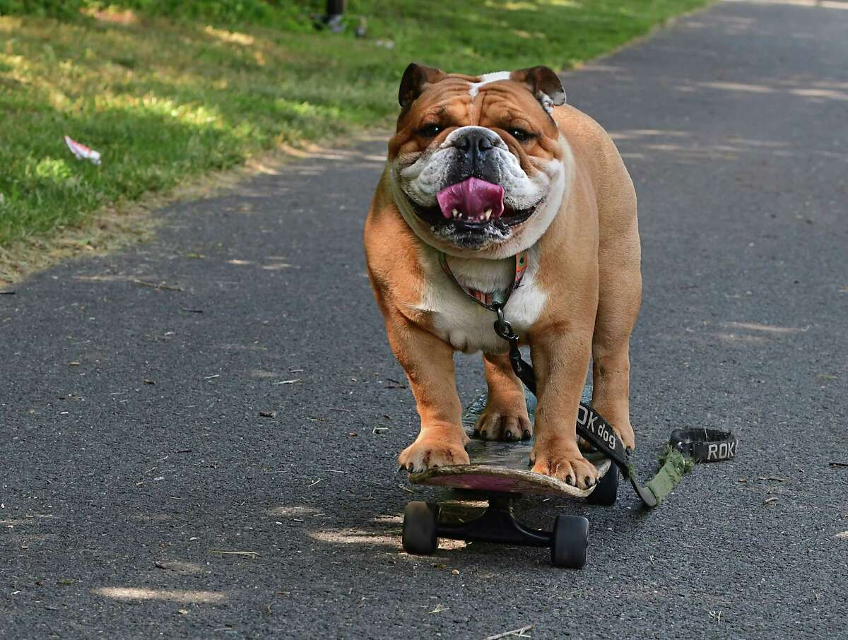 Tom Regal's bulldog Bruce rides a skateboard down a path on Tuesday, May 25, 2021 in Cohoes, N.Y. (Lori Van Buren/Times Union)