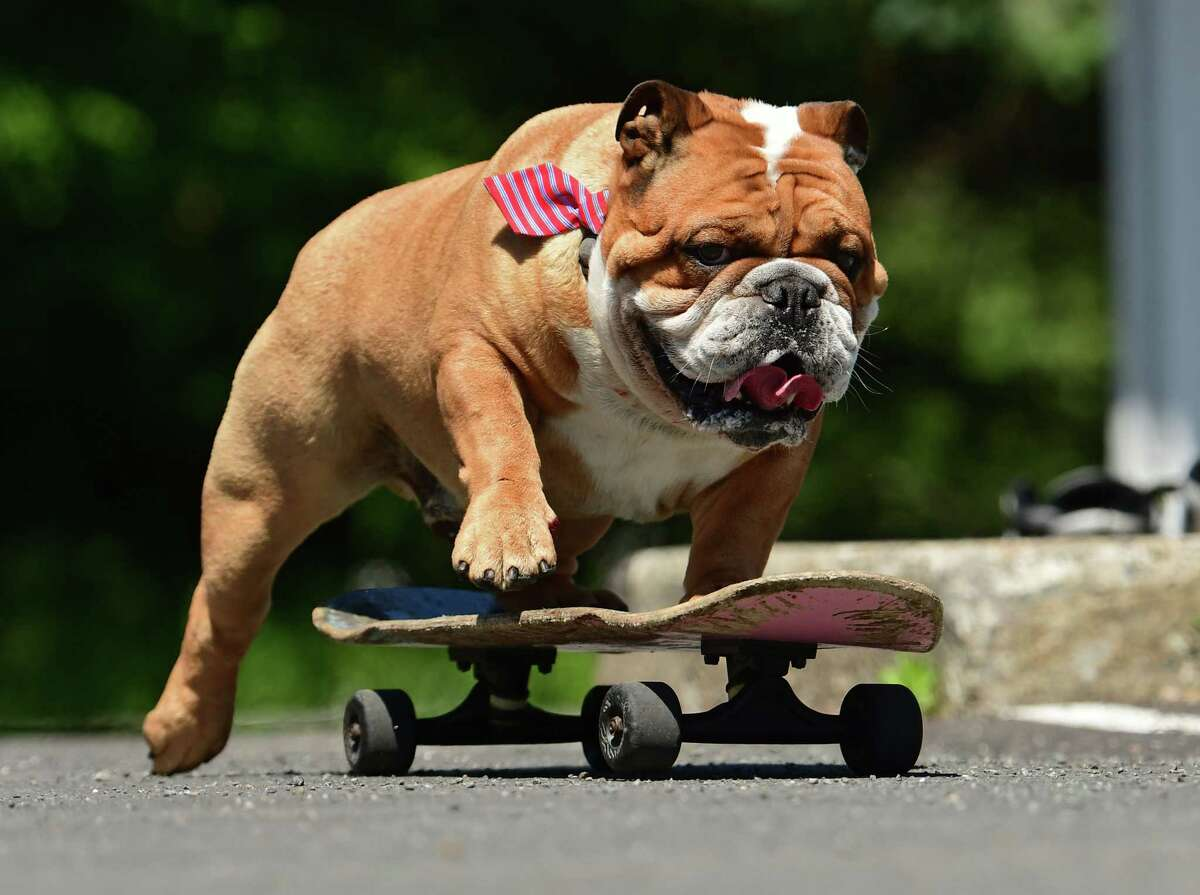 Tom Regal's bulldog Bruce pushes off with his legs and rides a skateboard in a parking lot on Thursday, May 27, 2021 in Cohoes, N.Y. (Lori Van Buren/Times Union)