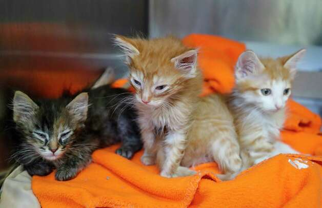 A1764340 Cantaloupe (the mostly orange one), Watermelon A1764341 (the orange and white kitten), Honeydew A1764342 (the brown tabby) are available for adoption or foster at BARC Animal Shelter, Thursday, May 27, 2021, in Houston. Photo: Karen Warren, Staff Photographer / @2021 Houston Chronicle
