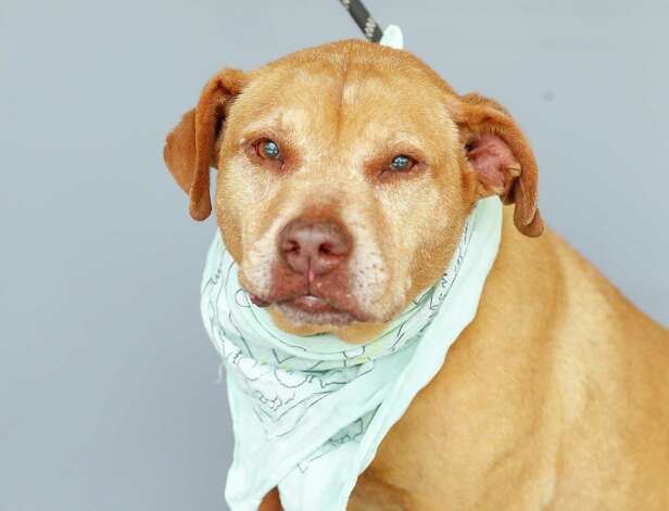 Bailey (A1759989) is a 9-year old, female Staffordshire mix available for adoption at BARC Animal Shelter, Thursday, May 27, 2021, in Houston. Bailey is a sweet senior girl who would love to snuggle on the couch with you. She is a PURRFURRED pet, so her adoption fee has been waived. Photo: Karen Warren, Staff Photographer / @2021 Houston Chronicle