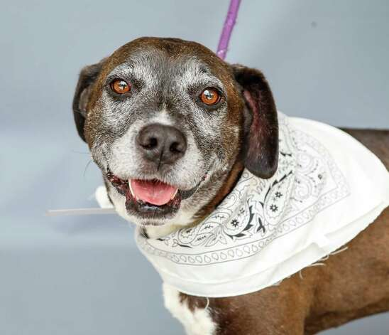 Champ (A1313223) is a 6-year old, male Lab/American Staffordshire mix available for adoption at BARC Animal Shelter, Thursday, May 27, 2021, in Houston. Champ is a sweet boy who loves to go on walks and is a pro at walking on his leash. He did well when meeting other dogs in the shelter. PURRFURRED pet, so his adoption fee has been waived. Photo: Karen Warren, Staff Photographer / @2021 Houston Chronicle