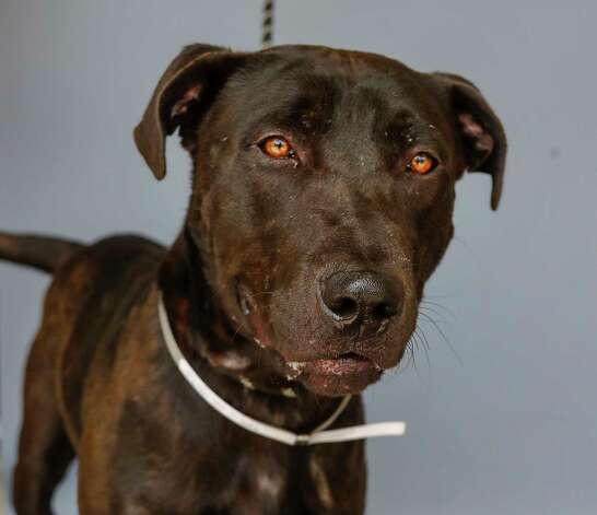 Wilbur (A1763866) is a 3-year old, male Black Lab mix available for adoption at BARC Animal Shelter, Thursday, May 27, 2021, in Houston. Wilbur is an easy-going guy, who loves treats and when tested for heartworm no antigens were found (negative). Photo: Karen Warren, Staff Photographer / @2021 Houston Chronicle