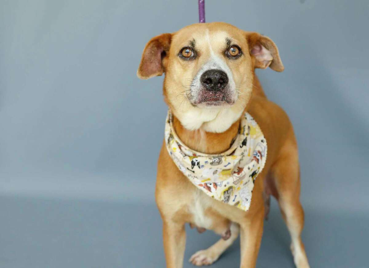 Meranda (A1762284) is a 8-year old, female Beagle mix available for adoption at BARC Animal Shelter, Thursday, May 27, 2021, in Houston. Don't let her age fool you, she's the bounciest senior you could ever meet. Still has lots of energy and would love to go on adventures with a new family! PURRFURRED pet, so her adoption fee has been waived.