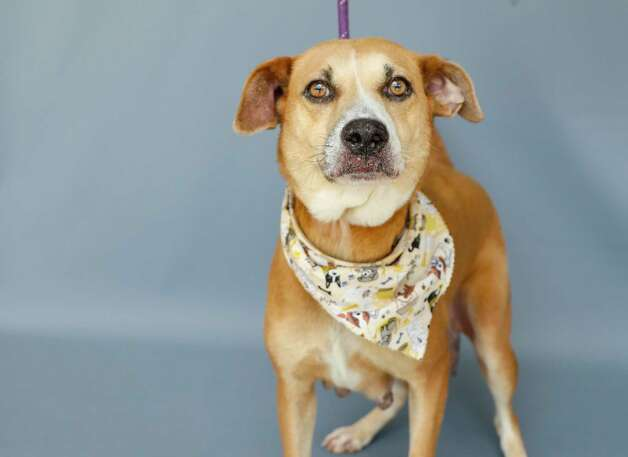 Meranda (A1762284) is a 8-year old, female Beagle mix available for adoption at BARC Animal Shelter, Thursday, May 27, 2021, in Houston. Don't let her age fool you, she's the bounciest senior you could ever meet. Still has lots of energy and would love to go on adventures with a new family! PURRFURRED pet, so her adoption fee has been waived. Photo: Karen Warren, Staff Photographer / @2021 Houston Chronicle