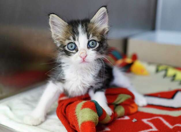 Tobiko (A1765144) is a 5-week-old male kitten available for adoption at BARC Animal Shelter, Thursday, May 27, 2021, in Houston. Photo: Karen Warren, Staff Photographer / @2021 Houston Chronicle