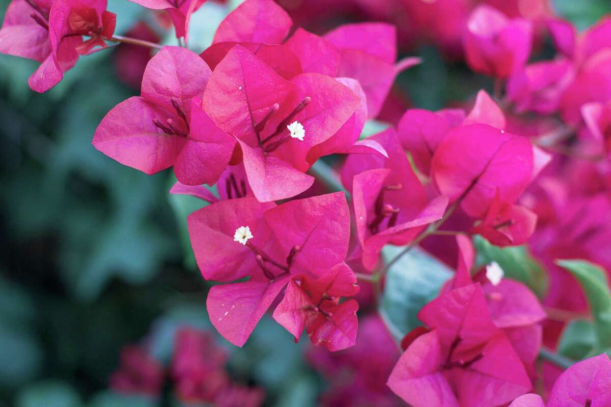 Bougainvillea prefer to be forgotten about unless the weather gets too hot and dry.