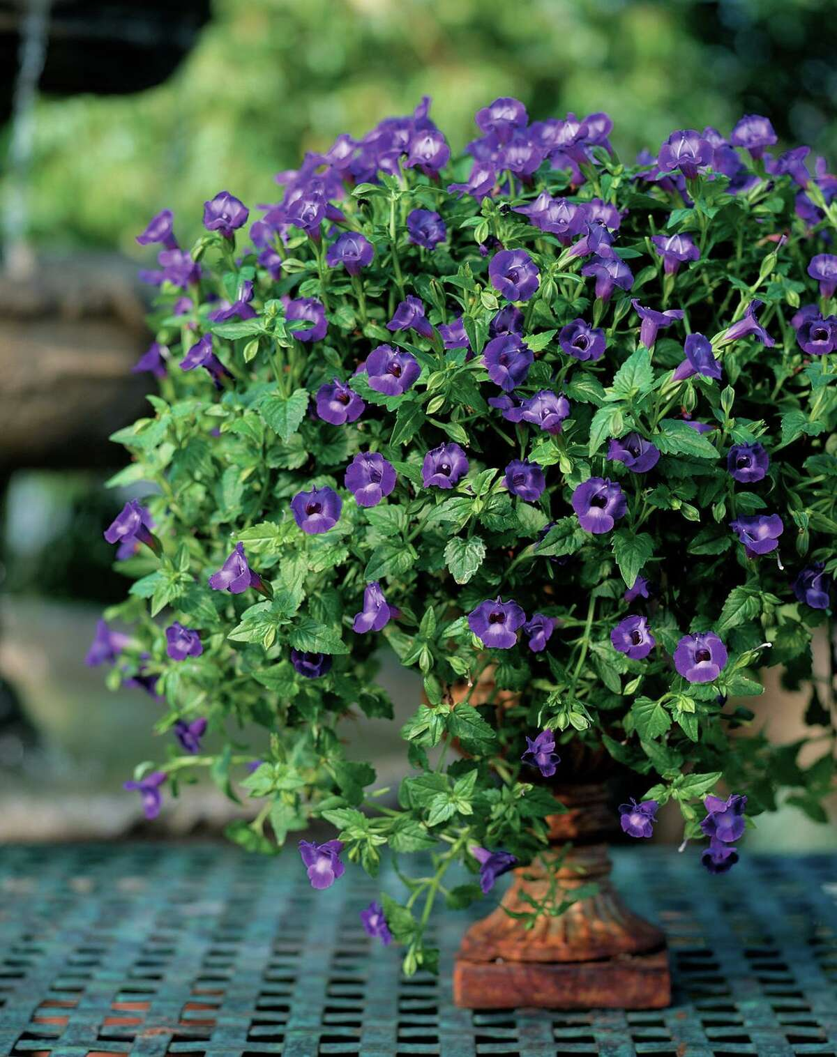 Proven Winners Summer Wave Large Violet torenia.